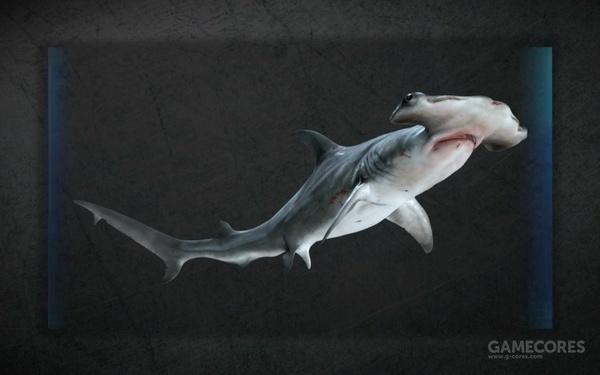 这是一只双髻鲨(shuāng jì shā),也叫锤头鲨.