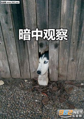 围观狗子暗中观察表情包 狗狗暗中观察表情包
