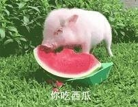 猪吃西瓜微信表情完表情香港整版包肥仔图片