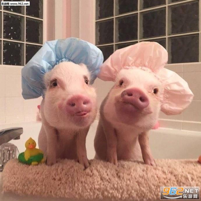 是一组两只可爱的猪猪大秀恩爱表情包,里面的主角当然就是现在很火的