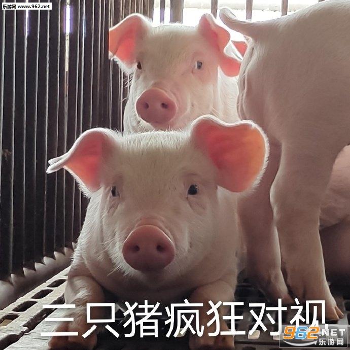 三只猪疯狂对视的图片表情包截图0