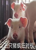 三只猪疯狂对视的图片表情包